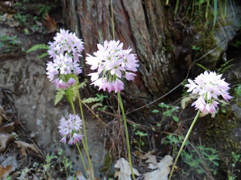 20 seeds 1 PACK OF SEEDS Erysimum wheeleri