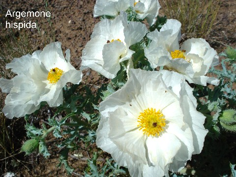 Alplains seed catalog arabis to callirhoe has a compact habit with blue bristly dissected leaves and large white poppy like flowers in rocky loamy soil mightylinksfo
