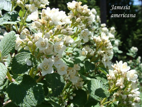 Alplains seed catalog iliamna to melampodium an attractive deciduous shrub with exfoliating bark and crenate leaves green above gray tomentose underneath showy white flower clusters at the ends of mightylinksfo