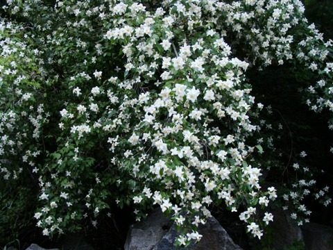 Small bush with white flowers images flower decoration ideas small bush with white flowers choice image flower decoration ideas small bush with white flowers images mightylinksfo