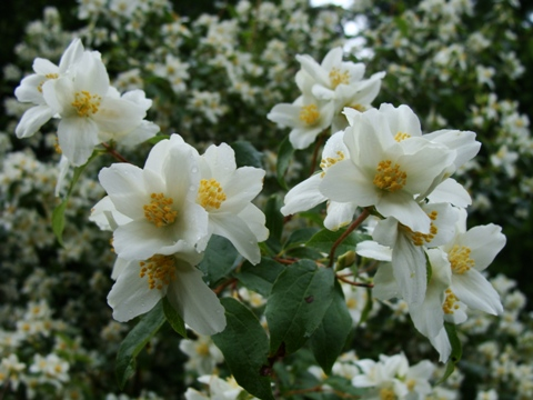 Alplains seed catalog petrophyton to primula in mid summer hundreds of white dogwood like flowers burst into fragrant splendor on every bush mightylinksfo