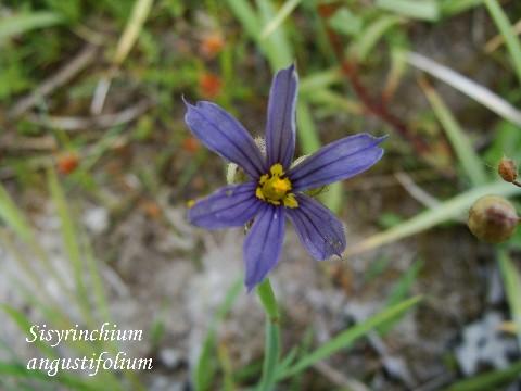Alplains seed catalog pulsatilla to sophora sisyangustg mightylinksfo