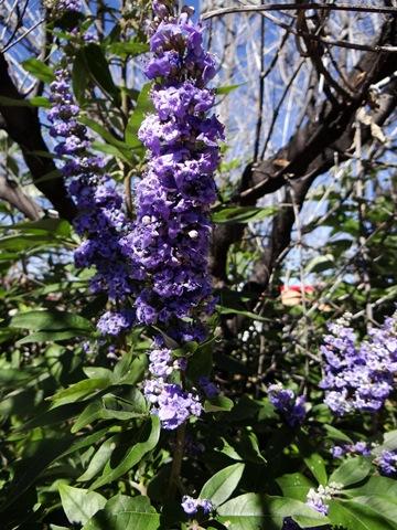 Alplains Seed Catalog Sphaeralcea To Zinnia